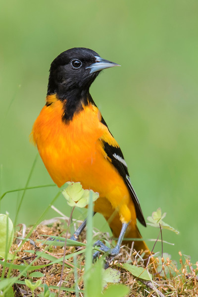 This spring we again had some Baltimore Orioles arrive to nest in our area.  The males are such gorgeous birds I always try to get some photos of them.  Today I'll show you how I've begun to apply some of the lessons from the Texas workshop I attended in February.