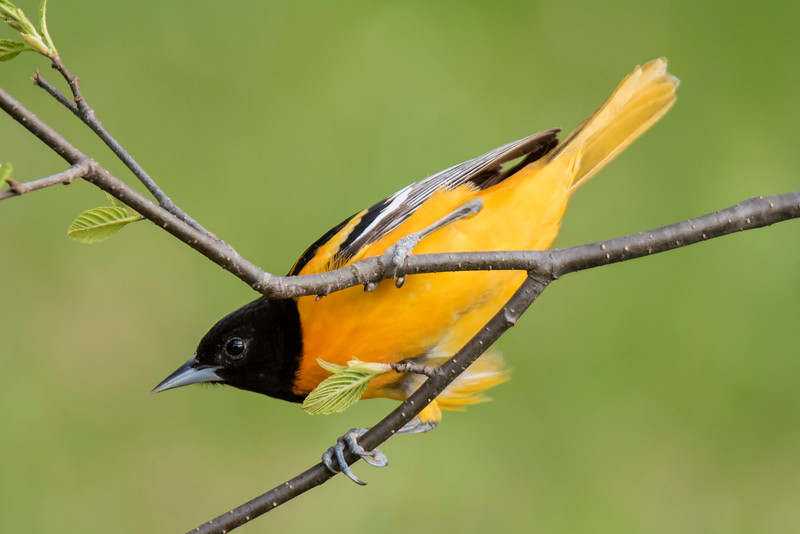 This is a cute picture with the Oriole peeking through a forked branch.  The next two pictures show how this was achieved.