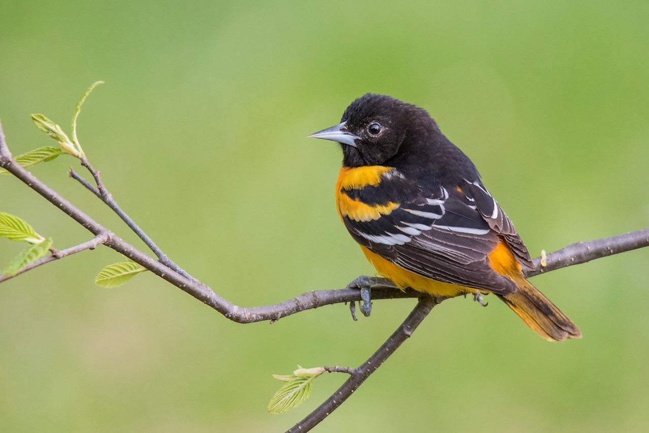 This photo, using the same setup, shows the back and wings of a male Oriole.  Note the small amount of black in the tail.  That tells me it was a different bird than the one shown in the third photo.  This bird is probably not as mature as the other one.