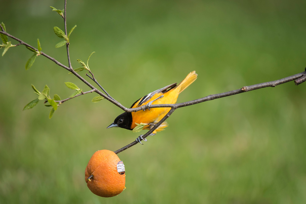This larger view shows that I used an orange half stuck on a branch to give the Oriole a feeding spot.  In retrospect, I think I should have placed the orange on the end of the branch that leaves the frame on the left side.  Then more of the tiny, fresh leaves would have been included in my photos.  Oh well, there's always next time!