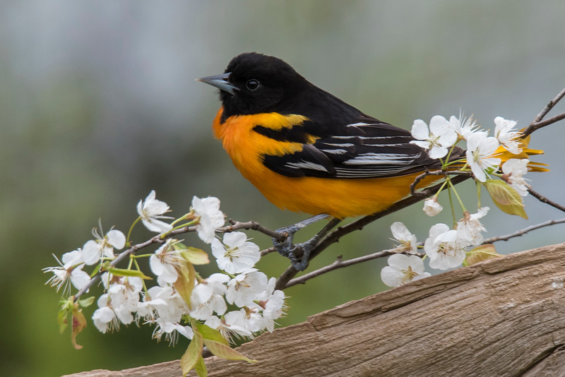 Another strategy we used at the workshop was to incorporate local vegetation into our photos.  I found some blooming shrubs in our yard, cut off a few branches, and mounted them near our oriole feeder.  Birds like to land near a feeder and look around to make sure there is no threat before they actually start eating.  These flowering branches gave the birds the landing spots they wanted and gave me some nice additions to my photos.