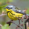"Because it also has a black ""necklace,"" the Magnolia Warbler could be confused with the Canada Warbler (above).  However, note the completely white eye ring, the patch of white behind the eye, the white wing bar, and the black and yellow striped back."