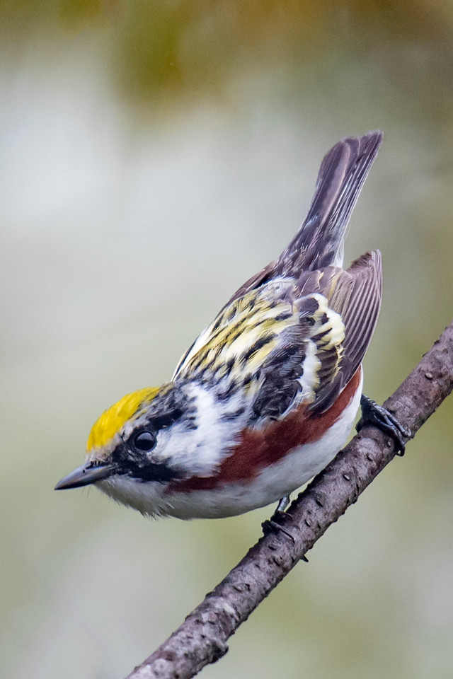 "The Chestnut-sided Warbler is aptly named.  This is one warbler that looks very different in its non-breeding plumage.  Its black and white feathers on the face and throat are replaced by all gray feathers.  The top of the head is still yellow and the back is also yellow with some black streaks.  When inexperienced birders see this bird in the fall, they often think it is an entirely different species.  Here's a link to a non-breeding plumaged bird.  You will need to scroll down when you get there.  <a href=""http://www.earlorfphotos.com/Birds/Birds-UZ/Warblers-CF/"">http://www.earlorfphotos.com/Birds/Birds-UZ/Warblers-CF/</a>"