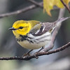 Here's a female Black-throated Green Warbler.  Compare the black plumage on this bird with the one in the previous photo.