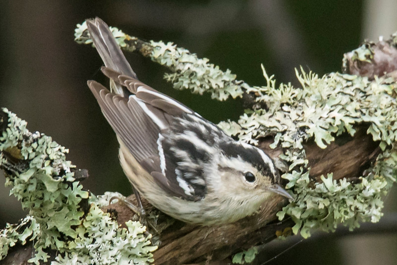 At the end of May, I went to the North Shore for a couple of days to get new pictures for my 2017 Warbler calendar.  That's usually the peak migration time for warblers so it's a good time to see them.  This Black and White Warbler is a female.  A male would have more black on the throat and chest.  Black and White Warblers nest over most of the eastern United States, including northeast Minnesota.  Their nesting range extends into southern and central Canada.