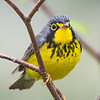 "This is a Canada Warbler with its gray back and head, yellow throat and underside, and a distinctive black ""necklace.""  Also note the unusual two-toned (yellow and white) eye ring.  The nesting range of the Canada Warbler is similar to that of the Black-throated Green Warbler."