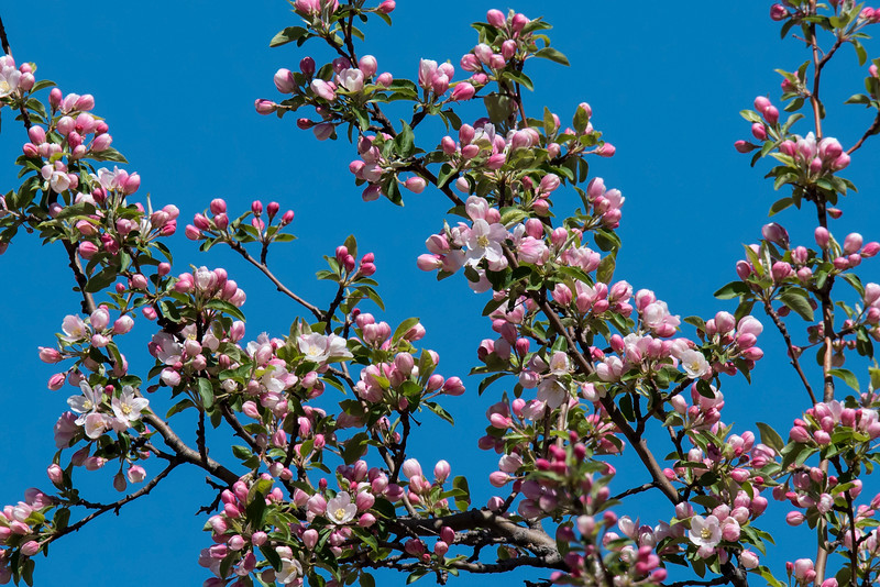 Although I spend most of my time photographing birds, I also like to take pictures of flowers.  Here are some that were taken this spring.  In late April, the crab apple trees at our office in New Brighton, MN, burst into bloom.  The beautiful blue sky that day enhanced the pink color of the blossoms.