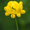 Bird's-foot Trefoil is often planted along highways to control erosion.  It's not a native plant, originally coming from Europe.  When the flowers have finished blooming, clusters of thin seed pods form and they look like birds feet, hence the name of the flower.