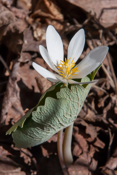 Bloodroot grows in moist forests and blooms early in the spring.  This photo was taken May 5, 2016, along the road leading to our home in northern Minnesota.  The two folded leaves protect the flower bud until it opens.  Bloodroot is one of the plants whose seeds are spread by ants.   Ants take the seeds to their nests, eat the fleshy part of it, and leave the rest of the seed in the nest where it then germinates.  The name bloodroot comes from the orange/red sap produced by the plant.  It was used as a dye by Native Americans.