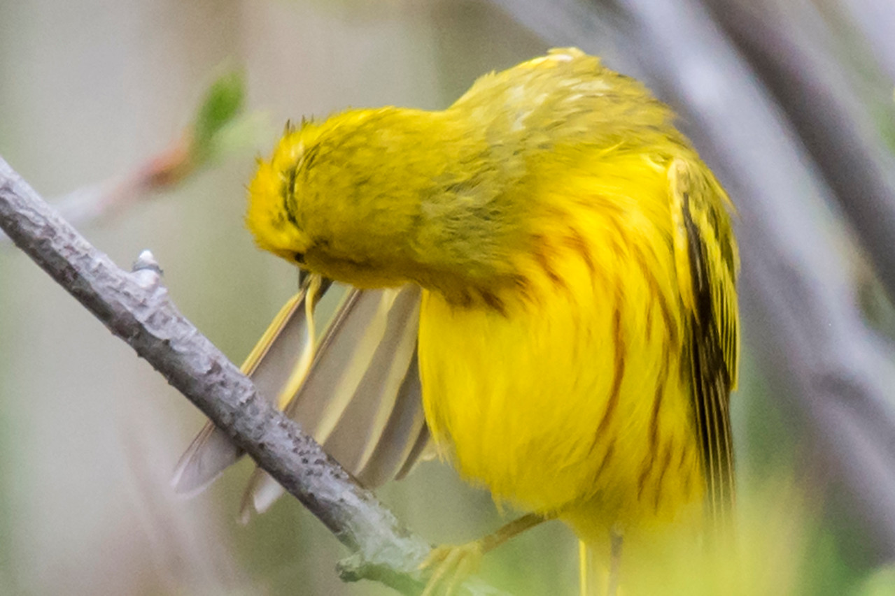 Here's an interesting photo from my trip.  Birds preen their feathers to clean and reshape them.  When I've seen this illustrated in a book, it showed the flat feather being pulled through the bill of the bird.  This is the first time I've photographed a bird actually preening.  This Yellow Warbler is folding the flexible part of a feather against the rigid shaft of the feather.  It looks like the feather will slide through its bill in this folded format, thereby cleaning off any dirt or parasites.  Now I'm wondering if this is the way it really happens or do they use both methods?