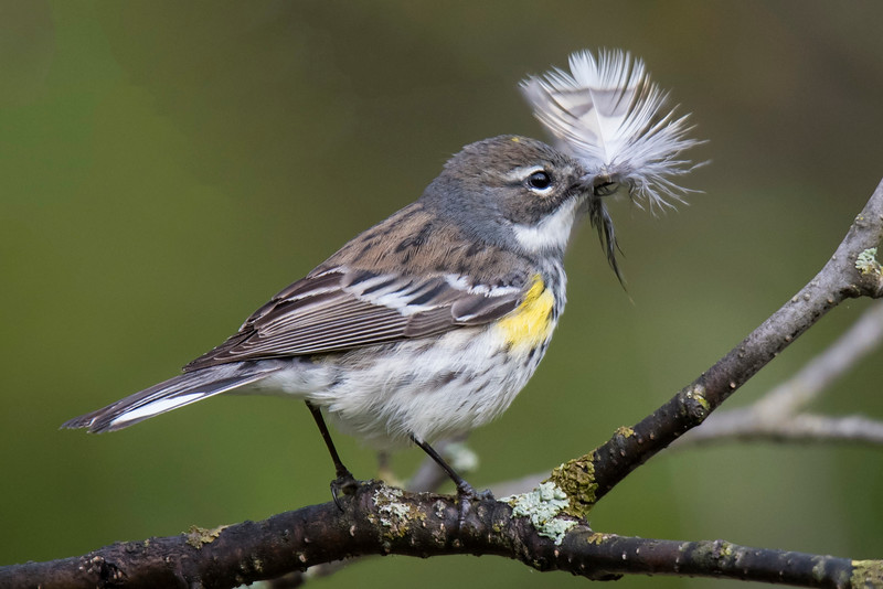 This female Yellow-rumped Warbler is carrying a feather, presumably to line a nest she is building nearby.