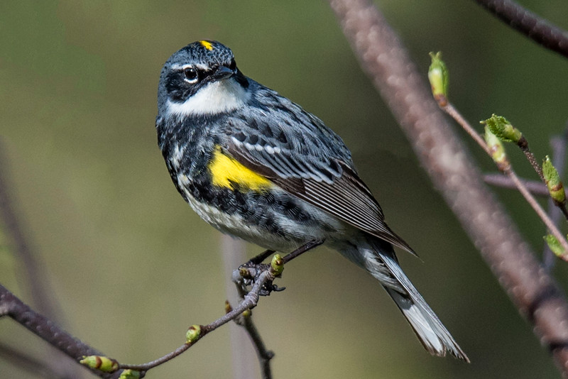 "Here's a male Yellow-rumped Warbler in breeding plumage.  In non-breeding plumage he looks like the female in the previous photo.  Most warblers migrate to warmer locations in the winter.  Some ""butter-butts"" (as people sometimes call them) also leave the country but many of them stay in the United States during the cold season."