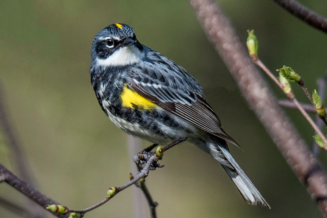 """Here's a male Yellow-rumped Warbler in breeding plumage.  In non-breeding plumage he looks like the female in the previous photo.  Most warblers migrate to warmer locations in the winter.  Some """"butter-butts"""" (as people sometimes call them) also leave the country but many of them stay in the United States during the cold season."""