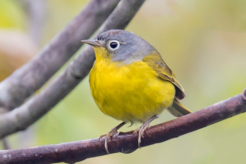 My trip to the North Shore in May did produce many nice warbler photos.  Here's a second set.  Compared to the many colorful members of the warbler family, the Nashville Warbler is kind of plain.  It has a gray head, a yellow throat and body, and a prominent white eye ring.  However, this photo shows a feature that is not often seen.  Nashville Warblers have a streak of red feathers on their heads that is usually covered up but here you can see them peeking through.