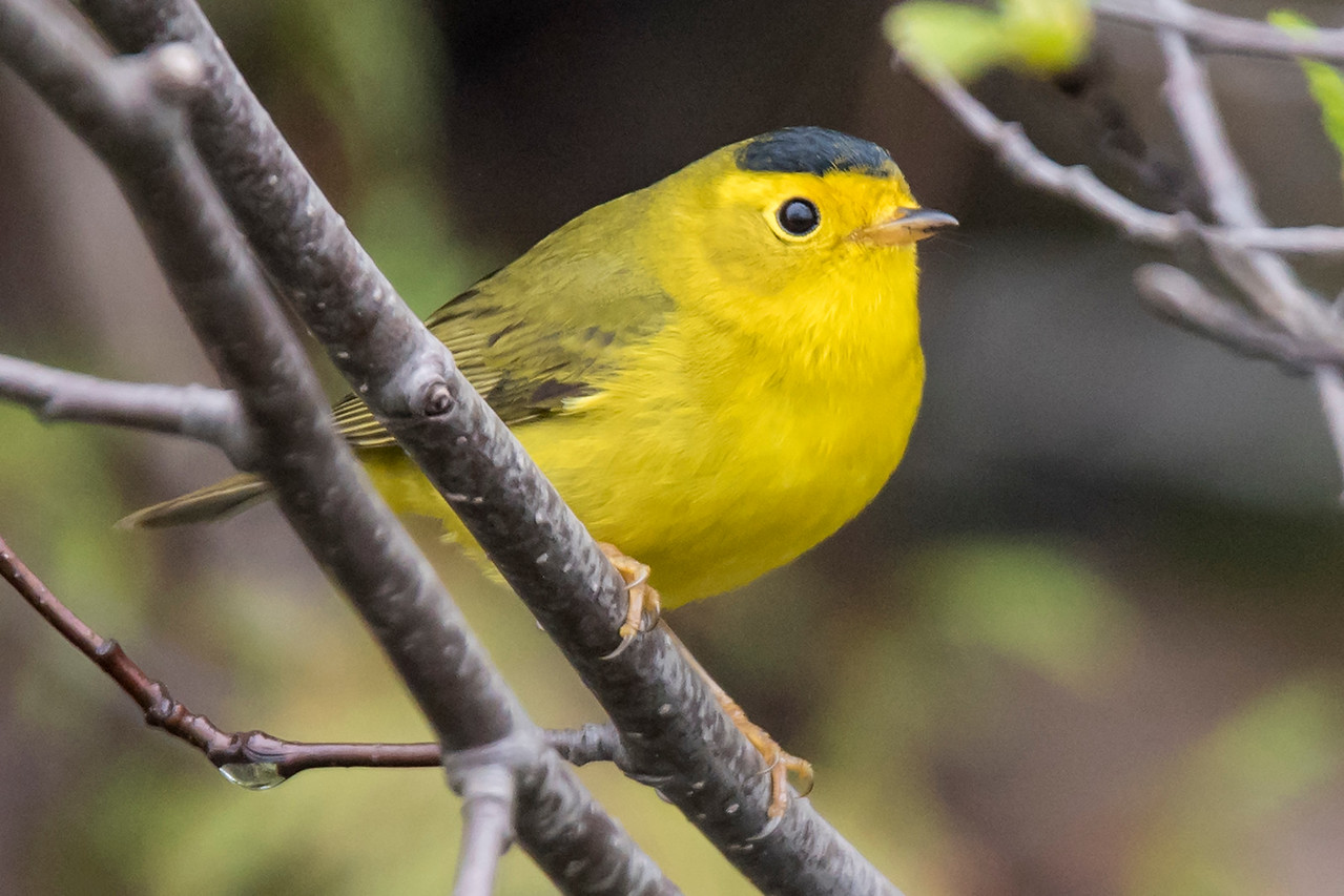 This male Wilson's Warbler has a black cap that gives him a very jaunty look.  He was probably just passing through, however, because this species doesn't usually nest in Minnesota.  It does nest all across Canada, in the northwestern United States, and in the New England states.