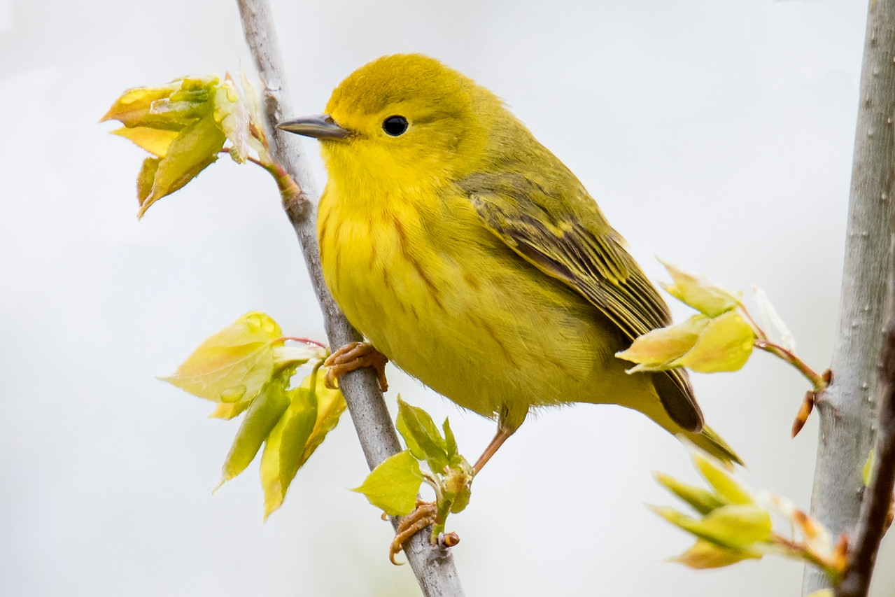 I think this Yellow Warbler is a female because a male would have much more prominent reddish streaks on his breast.  Yellow Warblers have a wider nesting range than any of our other North American warblers.  They can be found all across Canada and Alaska, in all the lower 48 states except a few in the far southeast, and down into Mexico.