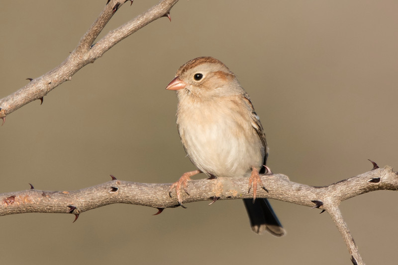 Contrary to its name, the Field Sparrow is not found in open fields.  It prefers overgrown areas with lots of bushes.  The song of the Field Sparrow is one of the easiest to recognize.  It consists of clear whistled notes that gradually get closer and closer together.  The pattern is like the sound of a ping pong ball that is dropped and bounces until it finally rests on the ground.