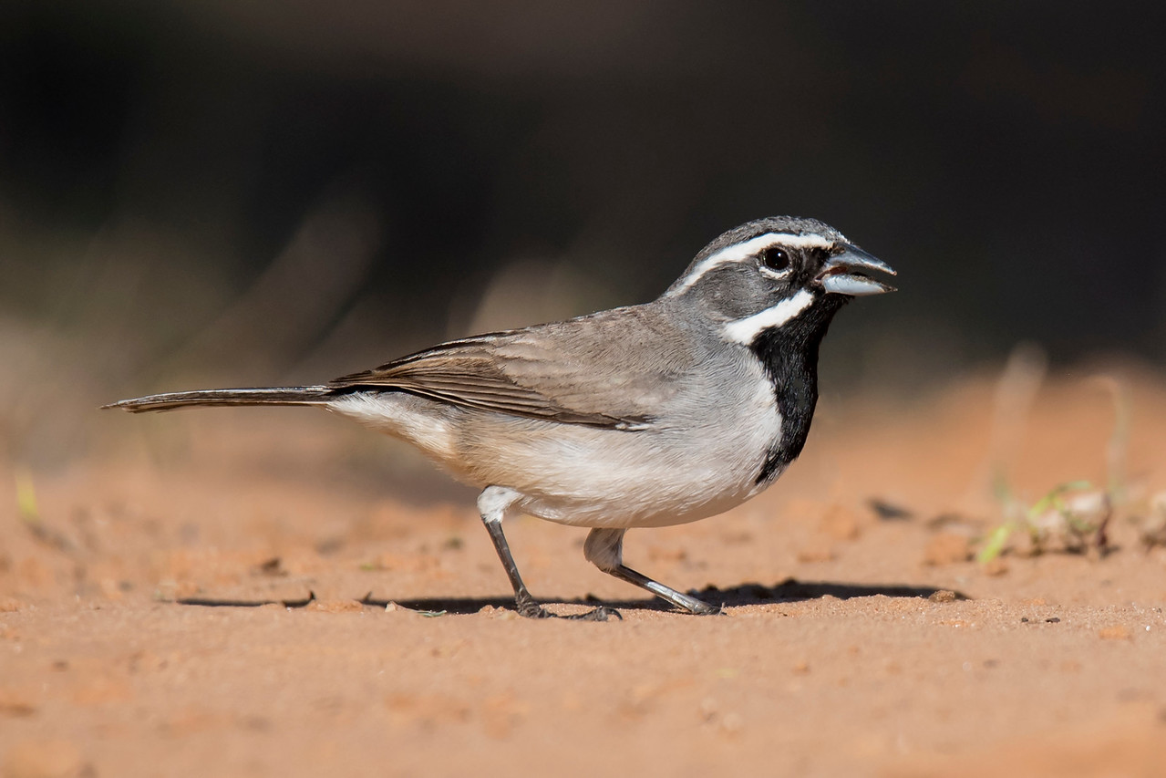 This little bird (5½ inches long) with the boldly patterned face is a Black-throated Sparrow.  It prefers a dry habitat and is found in the desert areas of the southwestern United States.  Its diet consists of seeds and insects.  During the hottest months of the year it needs a source of water, but during the rest of the year it gets enough water from its food.