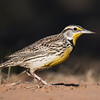 We saw several Meadowlarks during the workshop.  Both Eastern and Western Meadowlarks are found in Texas in winter and they look virtually identical.  The best way to tell them apart is by listening to their song.  We didn't hear these birds sing so I can't be sure if this is an Eastern Meadowlark or a Western Meadowlark.