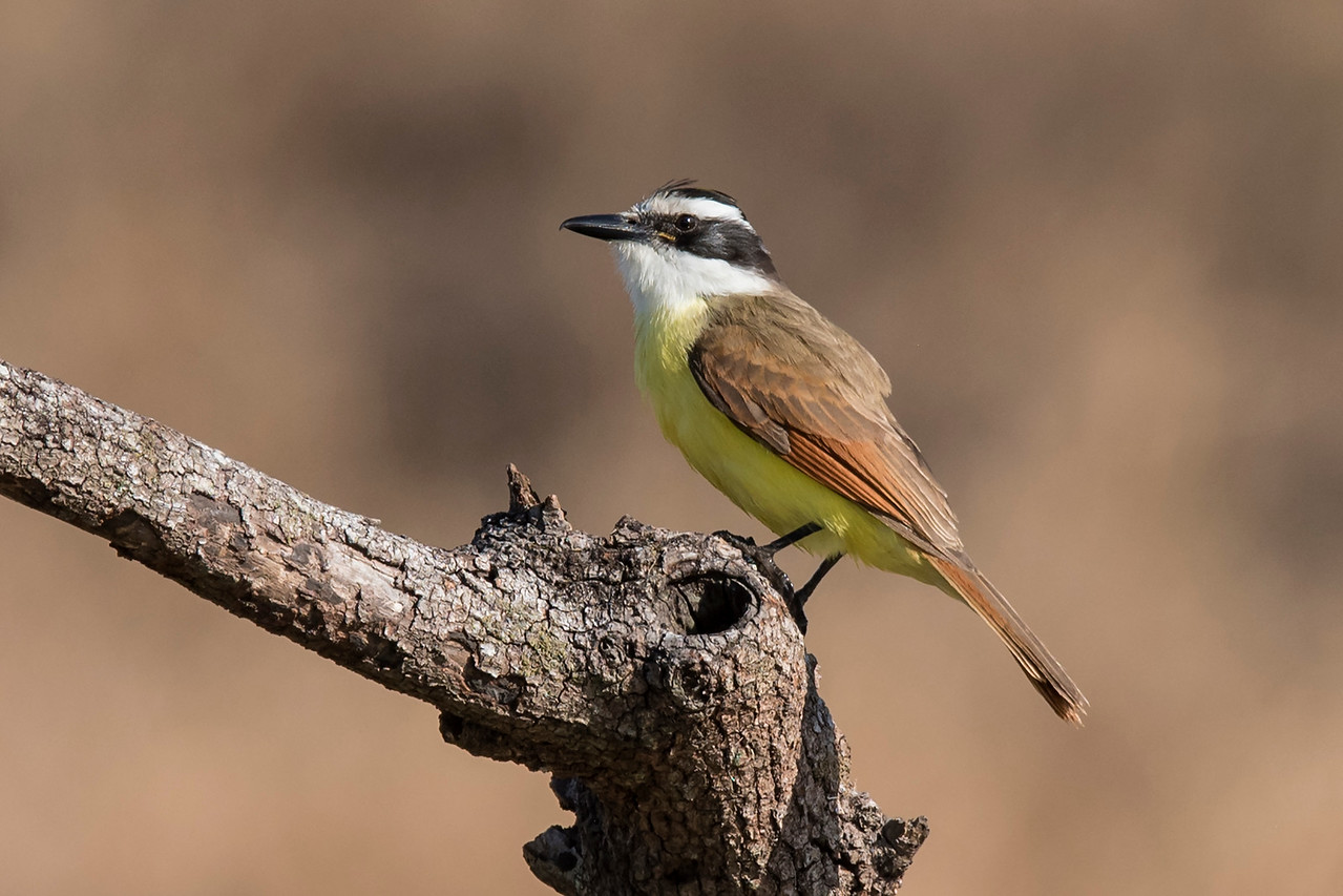 The Great Kiskadee is one of the birds whose name resembles its call.  The loud and piercing kis-ka-dee call is often heard before the bird is seen.  It's a large flycatcher, almost 10 inches long.  As you might expect, insects make up a big portion of its diet.  However, it isn't shy about going after a lizard or diving into a pond to catch small fish.  The only place to see this bird in the United States is southern Texas, especially in the Rio Grande Valley.