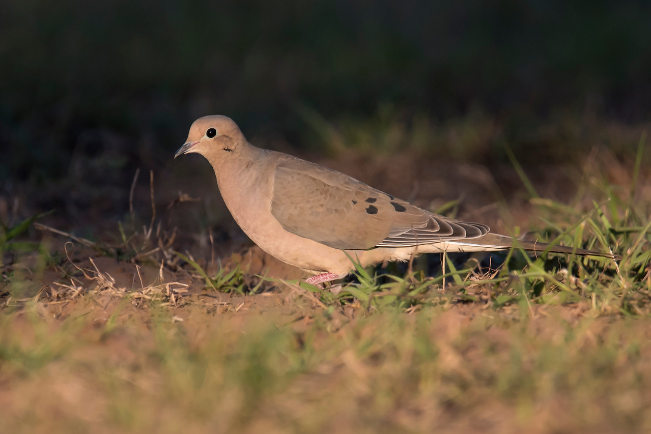 The Mourning Dove, found all across the United States, is one of our most common bird species.  It's long, pointed tail helps distinguish it from other dove species.  At 12 inches long, it is noticeably bigger than the Inca Dove.