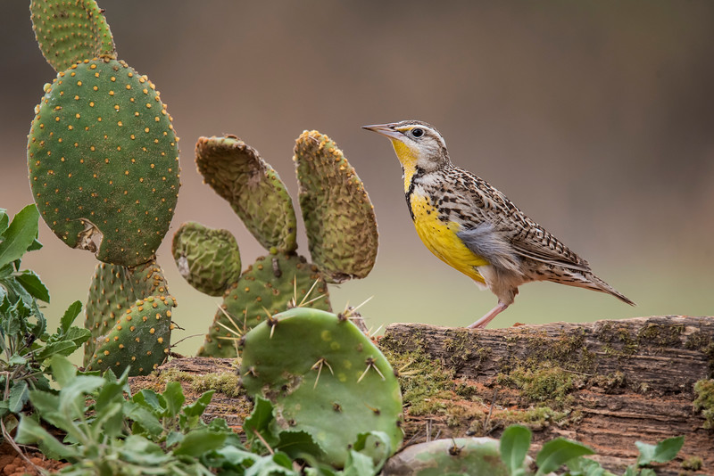 Meadowlarks are usually associated with grassy fields but they are also at home among the cactus in the desert.