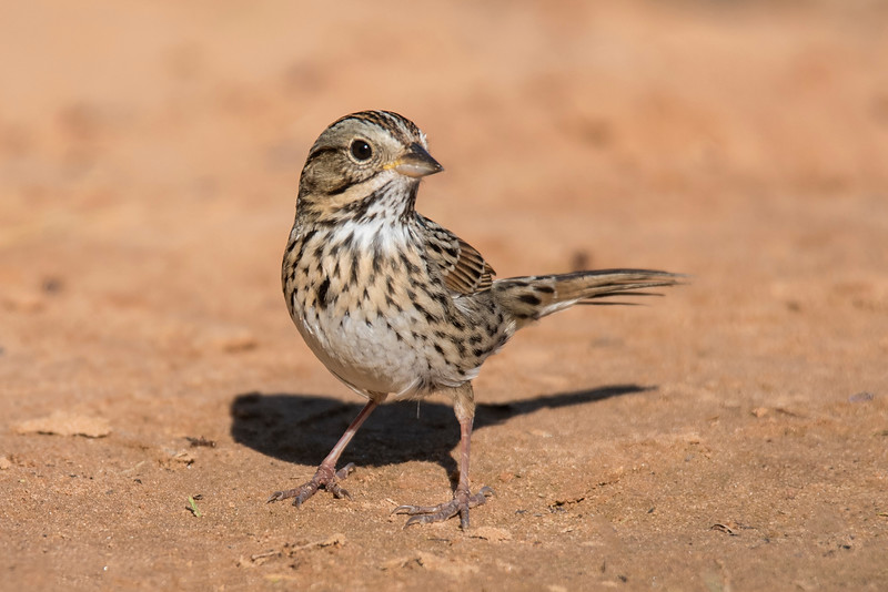 This perky little bird is a Lincoln's Sparrow.  A distinctive identifying feature is the buffy chest band separating the white throat and belly.  This species was not named after President Abraham Lincoln.  Instead, it was named after Thomas Lincoln who collected this sparrow while traveling with John James Audubon on a trip to Labrador, Canada.