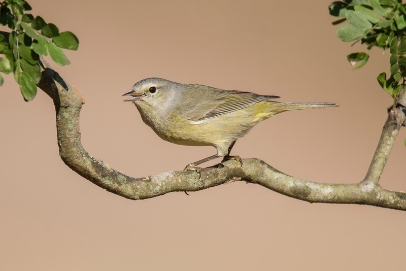 Most warblers are brightly colored, but the Orange-crowned Warbler is quite plain looking.  It does have a streak of orange feathers on the top of its head.  These feathers are hidden and only seen when the bird is frightened or agitated.