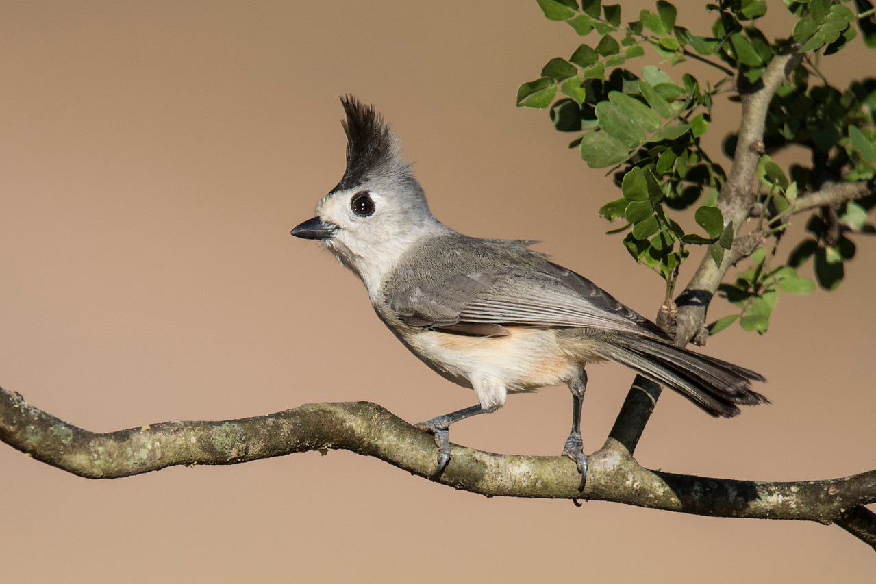 This Black-crested Titmouse looks like it just had a hair-raising experience.  This is a small bird, only 6½ inches long.  It's found from the far southwestern corner of Oklahoma down through the center of Texas.  Its range extends into the northeastern part of Mexico.