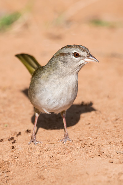 """Another lower Rio Grande Valley specialty is the Olive Sparrow.  Like the Audubon's Oriole, that's the only place in the United States to see this bird, a native of Mexico.  The Olive Sparrow is a """"skulker,"""" preferring to stay hidden in the underbrush.  We felt fortunate to get a few chances to see an Olive Sparrow."""