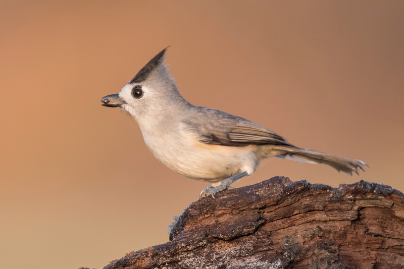 The Black-crested Titmouse was considered a separate species when it was discovered around 1850.  I haven't been able to find the date, but at some point it was declared to be the same species as the Tufted Titmouse.  Then in 2002, the American Ornithologists Union (the group that decides these things) reexamined the evidence and decided that Black-crested Titmouse and Tufted Titmouse should again be considered separate species.