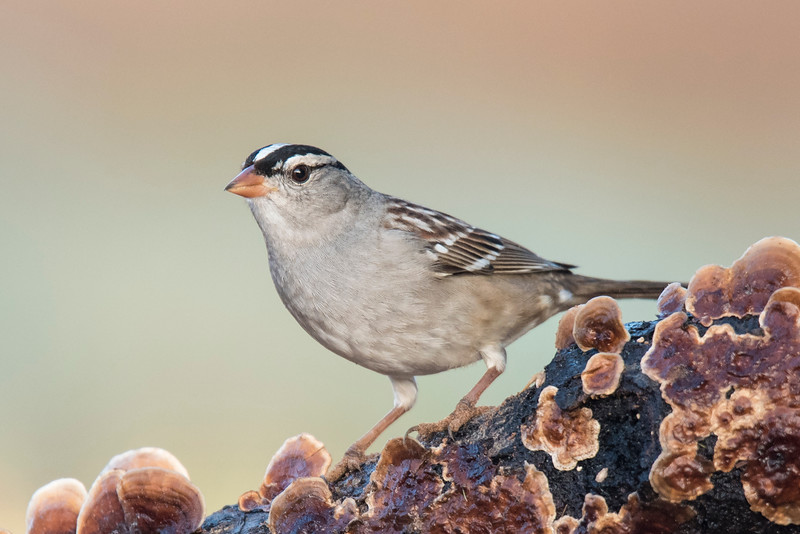 The White-crowned Sparrow has a distinctive orange/pink bill.  The bold black and white stripes on its head indicate this is an adult bird (see next photo.)  At 7 inches long, it is one of our larger sparrows.