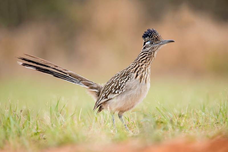 Roadrunners eat lots of snakes, large insects, spiders, and lizards.  Because they can run so fast (up to 15 miles per hour) Roadrunners prefer to chase their prey on the ground instead of flying after it.  They can fly, but don't do it very often.