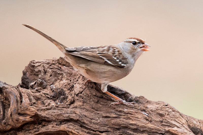 Brown and white stripes on the head of this bird tell us it is a first-winter White-crowned Sparrow.   These birds nest in the Rocky Mountains and in western and northern Canada.  In winter, they can be found all across the southern half of the United States.