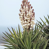 I was impressed by these Yucca flowers at a rest stop in Texas.  The flower stalk must have been at least 2 feet tall.