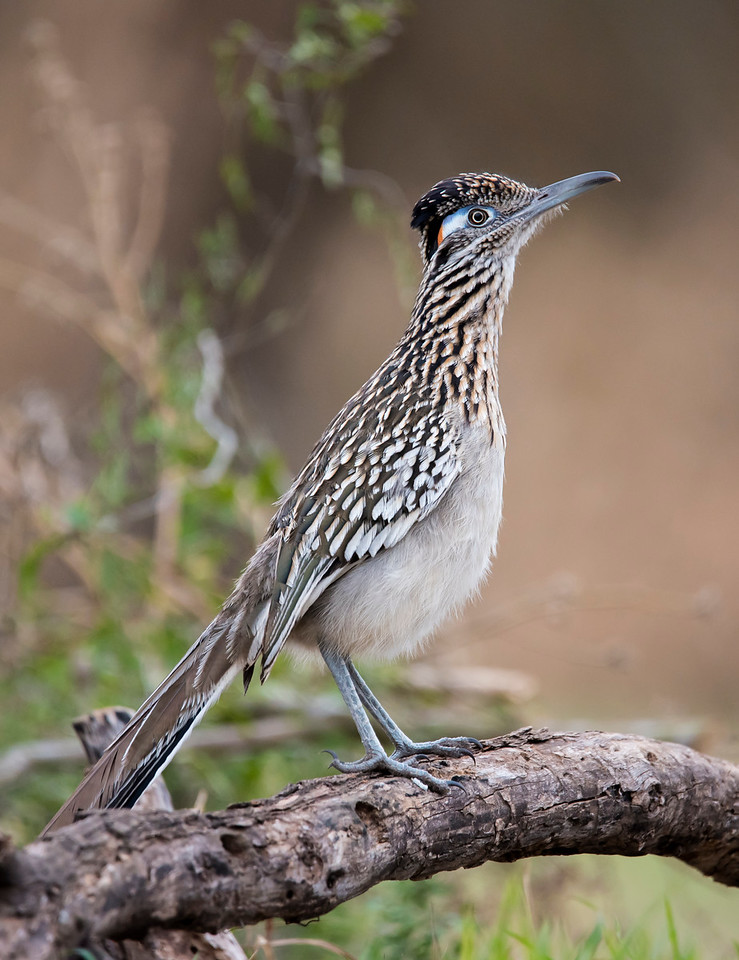 """One of the highlights of the Texas workshop I attended in February was seeing several Greater Roadrunners.  This is a bird that most people recognize, maybe because of its depiction in cartoons.  No, their call does not sound like """"beep, beep.""""  And yes, there is a Lesser Roadrunner.  It resembles the Greater Roadrunner but is smaller.  (Imagine that!)  It is found in southwestern Mexico and northern Central America."""