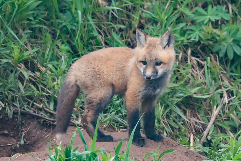 Red foxes have black legs and a black tail with a white tip.