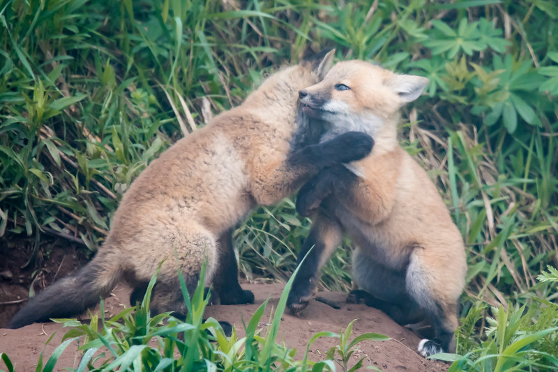 There was plenty of energetic play/fighting among the kits.
