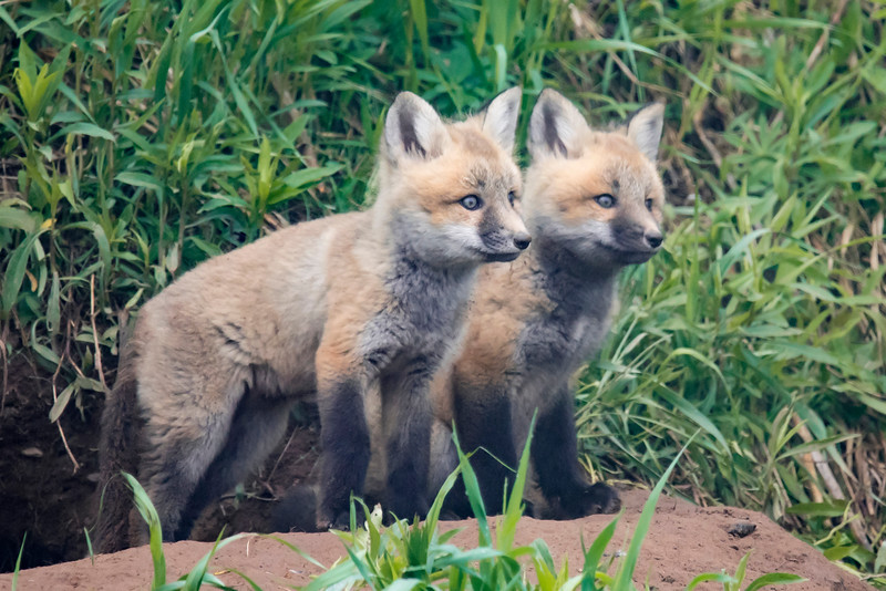 Pretty soon there were two fox kits.