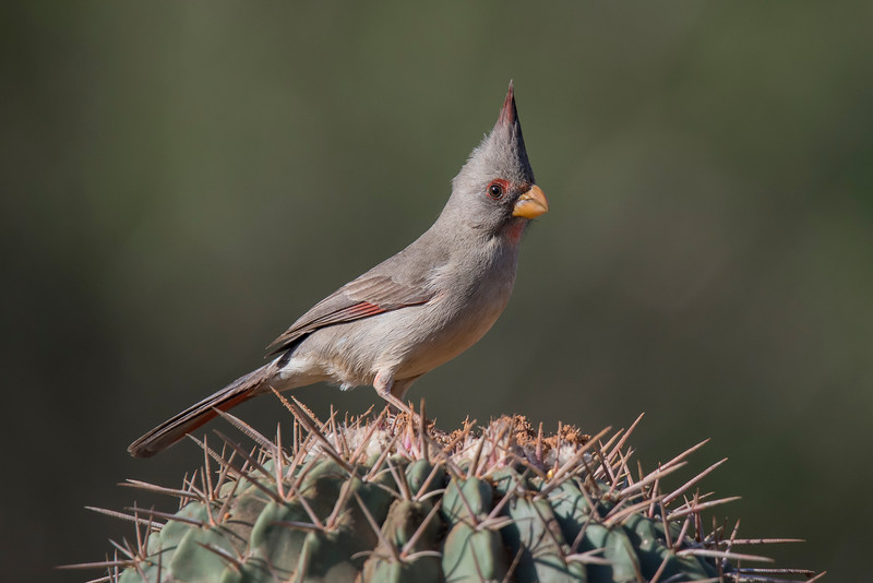 Here's a female Pyrrhuloxia.  She is also gray and red but, as is often the case, she is less colorful than the male.