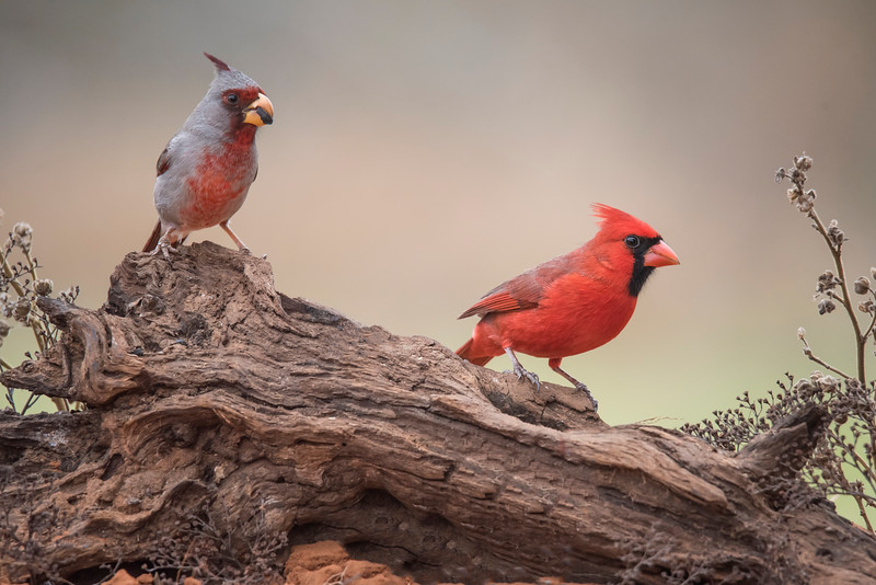 The Pyrrhuloxia and the Northern Cardinal are closely related and they do resemble each other.  Here is a male Pyrrhuloxia and a male Cardinal.  The color difference is obvious, but also notice the difference in their bills.  The Cardinal has a straight, red bill and the Pyrrhuloxia has a rounded, yellow bill.  Both have sturdy bills useful for cracking open hard seeds.