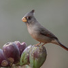 The name Pyrrhuloxia used to be part of this bird's Latin name.  It is a combination of the Latin term for Bullfinch and a Greek reference to the shape of the bird's bill.  The current Latin name for the Pyrrhuloxia is Cardinalis sinuatus.