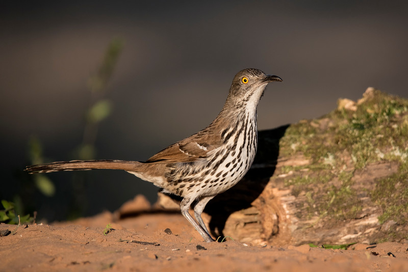 Male and female Long-billed Thrashers look alike.  They prefer dense, brushy areas where they can hide and be inconspicuous.  They scratch around in the leaf litter hunting for insects, spiders, and small amphibians.  They also eat berries when available.