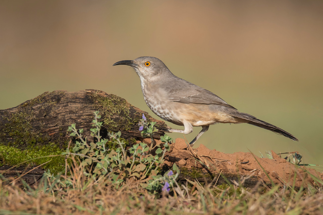 We also saw Curve-billed Thrashers.  They are more common and widespread than Long-billed Thrashers.  In the United States they can be found in the southern parts of New Mexico and Arizona and throughout the western half of Texas.