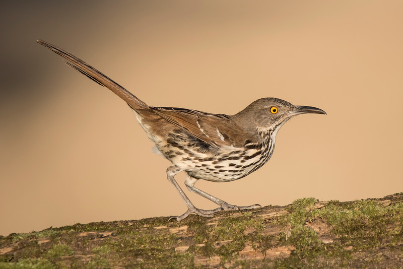 The Long-billed Thrasher is a large songbird, 11½ inches long.  It looks very similar to the Brown Thrasher we see in Minnesota during the summer.  However, the Long-billed thrasher is grayer and has a longer, more curved bill.