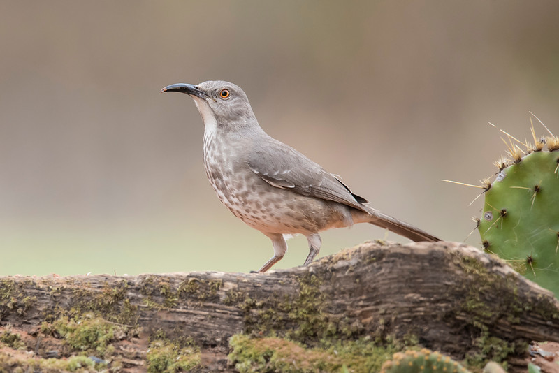 At 11 inches long, the Curve-billed Thrasher is similar in size to the Long-billed thrasher.