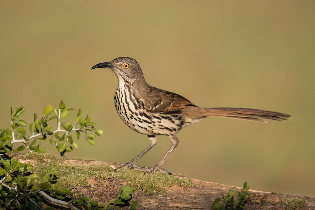I saw two species of thrashers at the Texas photo workshop I attended in February, 2016.  This is a Long-billed Thrasher.  In the United States, it is found only in the southern tip of Texas.