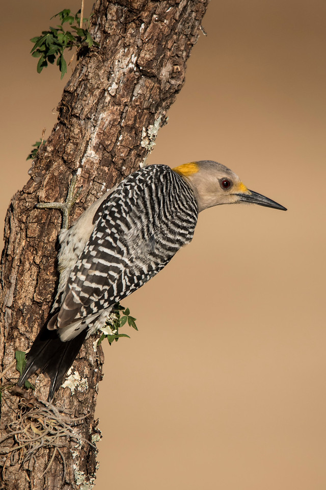 Here is a photo of a female.  Note the absence of red feathers on top of the head.  These photos were taken at the bird photography workshop I attended in February, 2016.