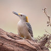 The Golden-fronted Woodpecker is closely related to the Red-bellied Woodpecker which is found over most of the eastern United States.