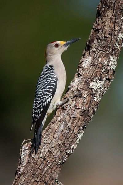 In the United States, the Golden-fronted Woodpecker is found only in Texas and southwestern Oklahoma.  This is a male.  Both male and female have yellow feathers on the backs of their heads and just above their bills.   The male has red feathers on the top of his head.